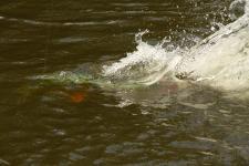 peacock bass on Agua Boa River, Brazil