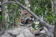 Jaguar Agua Boa River Brazil